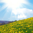 Yellow dandelion field — Stock Photo