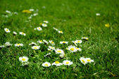 WHITE FLOWERS IN GREEN GRASS — Stock Photo