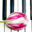 Stock Photo: Tulip on the piano keyboard
