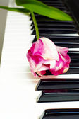 Tulip on the piano keyboard — Stock Photo