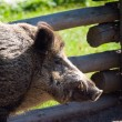 Royalty-Free Stock Photo: Wild boar