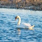 Swan — Stock Photo #1904528