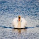 Swan — Stock Photo #1904553