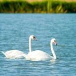 Swan — Stock Photo #1904611