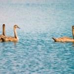 Swan — Stock Photo #1904656