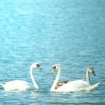 Swan — Stock Photo #1904715