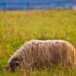 Sheep — Stock Photo #1968905