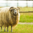 Sheep — Stock Photo #2260890