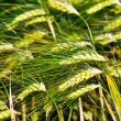 Wild grass — Stock Photo #2331998