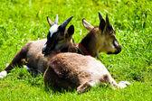 Goat — ストック写真