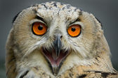 Owl portrait — Stock Photo