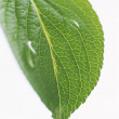 Foliage Green leaves — Stock Photo