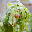 Frozen raspberry — Stockfoto