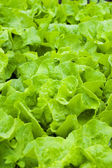 Young lettuce — Stock Photo