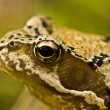 Royalty-Free Stock Photo: Portrait of a frog