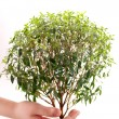 Stock Photo: Green tree myrtle