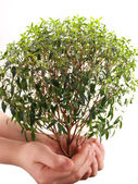 Green tree myrtle — Stock Photo