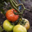 Fresh tomatoes on the vine, with drops - Foto Stock