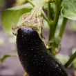 Stock Photo: One fresh eggplant or aubergine