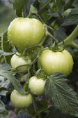 Fresh unripe tomatoes,with water drops — Stock Photo