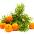 Branches of a pine and tangerines — Stock Photo #1899351