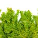 Fur-tree branches — Stock Photo