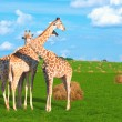 Giraffes in Siberia - Stock Photo