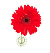 RED DAISY FLOWER — Stock Photo