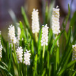 Stock Photo: White grape hyacinths
