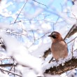 Eurasian jay - Stock Photo