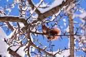 Rode eekhoorn — Stockfoto