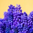 Stock Photo: Grape hyacinth