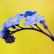 Stock Photo: Forget-me-not flower