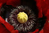 Papaver sommeferum — Foto Stock