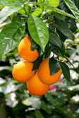 Plantation of citruses. — Stock Photo