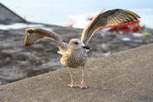 Gull, spreading its wings — Stock Photo