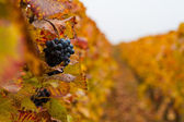 Autumn grapes — Stock Photo