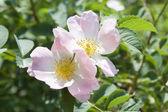 Rosehip blossom — Stock Photo