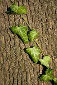 Tree bark with ivy — Stock Photo
