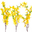 Forsythia Flowers — Stock Photo