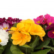 Flowers, Primrose — Stock Photo