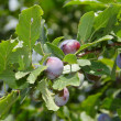 Plums on the tree - Stock Photo