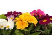 Flowers, Primrose — Stock Photo