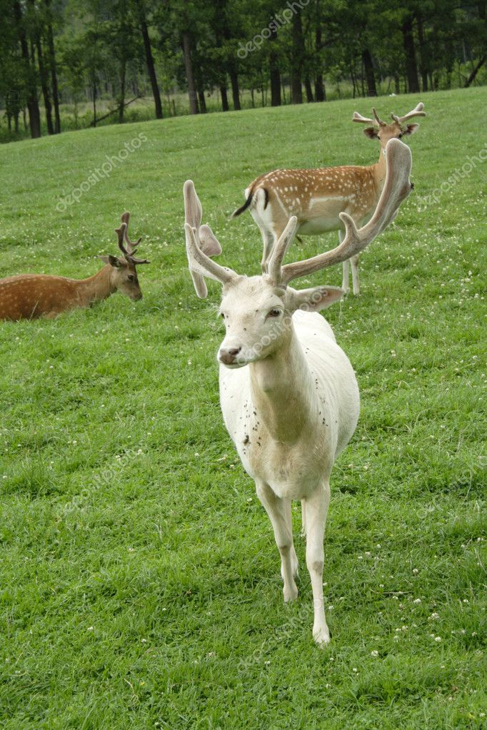 Young white reindeer on green meadow  Stock Photo #1965436