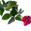 Beautiful red rose — Stock Photo