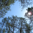 Many green pine-trees, blue sky and sun — Stock Photo