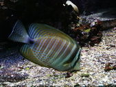 Exotic fish — Stock Photo