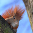 Red squirrel — Stock Photo #2029747