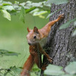 Wild squirrel - Stock Photo
