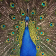 Peacock — Stock Photo #2083955